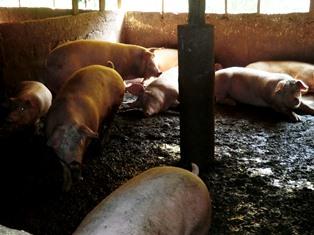 人と同じものを食べる豚?! ~その2~_8