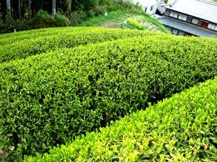 お茶の生産地「月ヶ瀬」訪問ツアー!!_2