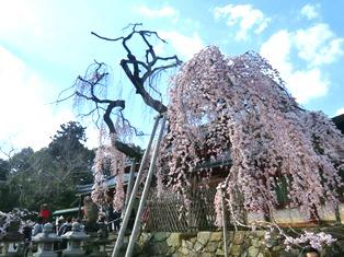 しだれ桜_1