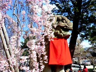 しだれ桜_2