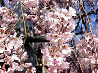 しだれ桜_3