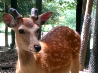 奈良、といえば鹿_1