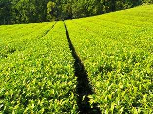 かがやく茶畑_5