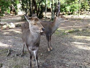 奈良の鹿は誰も飼っていません!野生動物なのです。_4