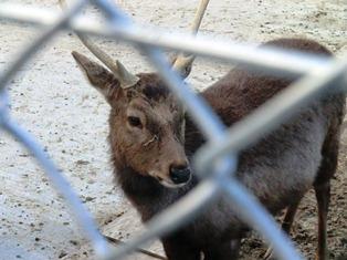 奈良の鹿は誰も飼っていません!野生動物なのです。_9