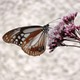 2千キロを旅する蝶を育て、空へ!