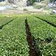 すごすぎる!大和茶とお茶文化