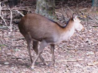 歴史から考える奈良の鹿_3