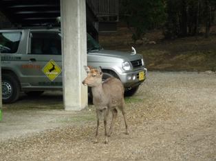 ひとまちレポート 奈良の鹿たち、受難な日々を乗り越えて_5