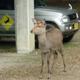 ひとまちレポート 奈良の鹿たち、受難な日々を乗り越えて