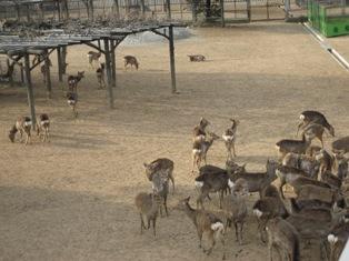ひとまちレポート 鹿との素敵な付き合い方_3