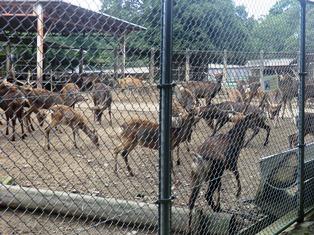奈良の鹿_3