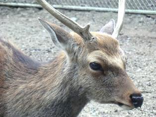 奈良の鹿_4