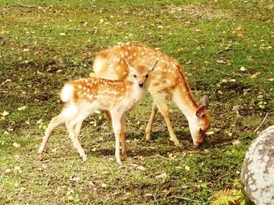 奈良公園の鹿は本当に元気です!