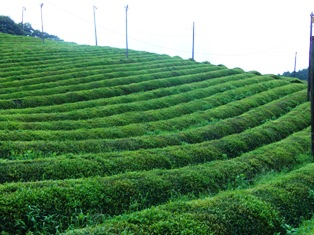 ひとまちレポート お茶摘みは重労働でも充実感たっぷり_1