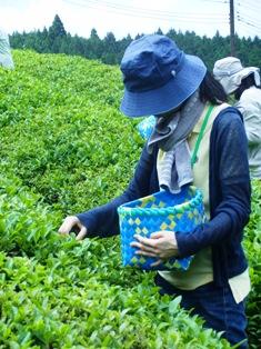 ひとまちレポート お茶摘みは重労働でも充実感たっぷり_3